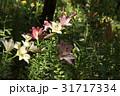 植物 百合 ユリの写真 31717334