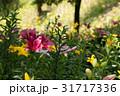 植物 百合 ユリの写真 31717336