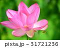 蓮の花 蓮 ピンクの写真 31721236