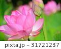 蓮の花 蓮 ピンクの写真 31721237