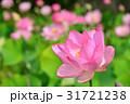 蓮の花 蓮 ピンクの写真 31721238