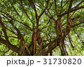 banyan tree in the park 31730820