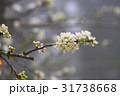 お花 フラワー 咲く花の写真 31738668