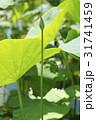 植物 ハス 蓮の写真 31741459