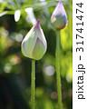 植物 ハス 蓮の写真 31741474