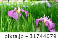 ハナショウブ 花菖蒲 花の写真 31744079
