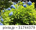 あじさい アジサイ 紫陽花の写真 31744379