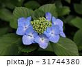 紫陽花 花 額紫陽花の写真 31744380