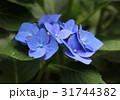 あじさい アジサイ 紫陽花の写真 31744382
