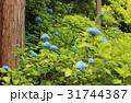 あじさい アジサイ 紫陽花の写真 31744387