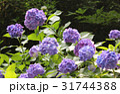 あじさい アジサイ 紫陽花の写真 31744388