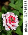 バーベナ・ピンクパフェ 花 ビジョザクラの写真 31746388