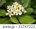 トベラ 海桐花 白色の写真 31747222