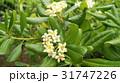 トベラ 海桐花 白の写真 31747226