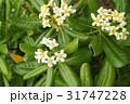 トベラ 海桐花 白色の写真 31747228