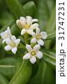 トベラ 海桐花 白色の写真 31747231
