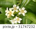 トベラ 海桐花 白色の写真 31747232