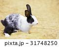 かわいい白黒ウサギ 31748250
