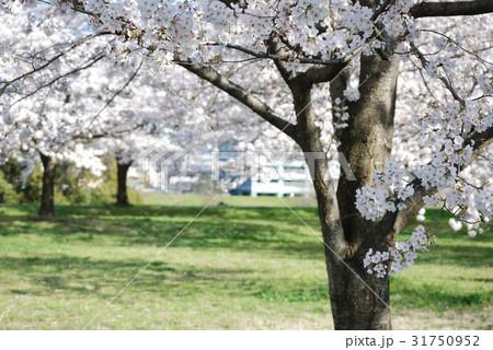春に咲く桜 31750952