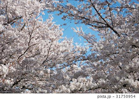 春の青空に咲く桜02 31750954