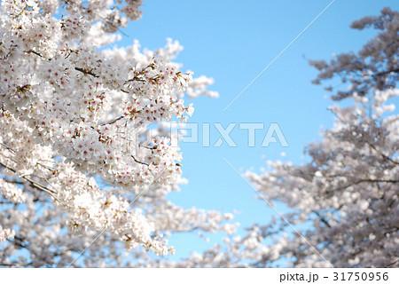 春の青空に咲く桜04 31750956