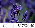 北海道富良野の大自然に広がるラベンダーと蜂02 31752140