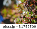 幸運を呼ぶ金のなる木(花月)に咲いたかわいい花々02 31752509