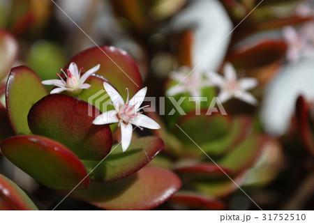 幸運を呼ぶ金のなる木(花月)に咲いたかわいい花々01 31752510