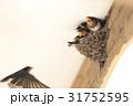 ツバメ 親子 鳥の写真 31752595