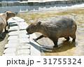 カピバラ 水浴び 31755324