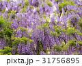 藤 藤の花 あしかがフラワーパークの写真 31756895