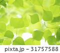 新緑 若葉 緑の写真 31757588