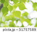 新緑 若葉 緑の写真 31757589