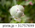 お花 フラワー 咲く花の写真 31757699
