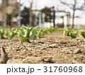 早春のチューリップ花壇 31760968