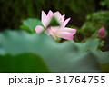 きれい 綺麗 花の写真 31764755