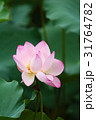 きれい 綺麗 花の写真 31764782