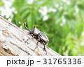 日本のカブトムシ 31765336