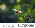 在樹枝上 休息的 紅蜻蜓 31765460
