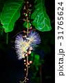 サワフジ 花 熱帯植物の写真 31765624