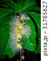 サワフジ 花 熱帯植物の写真 31765627