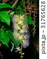 サワフジ 花 熱帯植物の写真 31765628