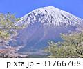 富士山 桜 ソメイヨシノの写真 31766768