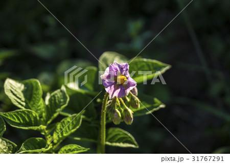 信州・長野県長和町自家製のキタアカリ(ジャガイモ)の花 31767291