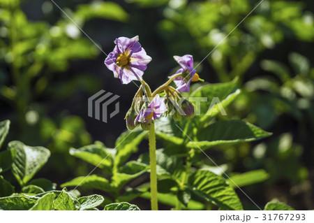 信州・長野県長和町自家製のキタアカリ(ジャガイモ)の花 31767293
