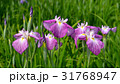 ハナショウブ 花菖蒲 花の写真 31768947