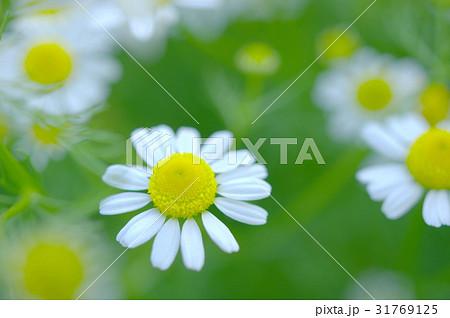 ローマンカモミールの花(クローズアップ) 31769125