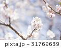 梅の花(白梅) 31769639
