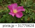 花 ハマナス 花びらの写真 31770628