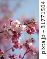 桜 さくら サクラの写真 31771504